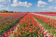 Landschaft mit blühenden Tulpenfeldern Stockbilder