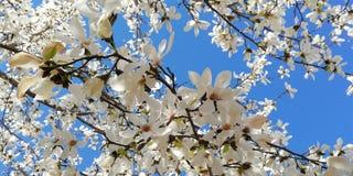 Landschaft mit bl?hender Magnolie Eine Niederlassung mit sch?nen Blumen der Magnolie gegen den blauen Himmel stockfoto
