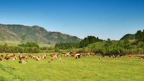 Landschaft mit dem Weiden lassen der Kühe Lizenzfreies Stockbild