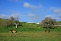 Landschaft mit den Stuten und Fohlen, die Weide weiden lassen Stockbilder