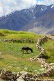 Landschaft mit Esel auf Wiese. Himalaja. Lizenzfreie Stockfotografie