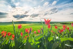 Landschaft mit Feldern und Tulpen Stockbild