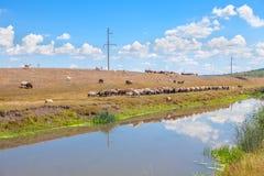 Landschaft mit Herde von Schafen Stockbilder