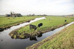 Landschaft mit Kühen in Holland Lizenzfreie Stockfotos