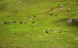 Landschaft mit Kühen im Berg Stockfoto