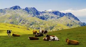 Landschaft mit Kühen im Berg Stockbild