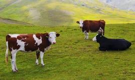 Landschaft mit Kühen im Berg Lizenzfreies Stockfoto