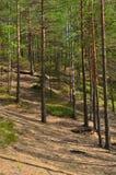 Landschaft mit Kiefernwald Stockfotografie
