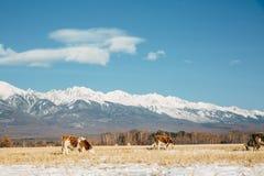 Landschaft mit Kuh lizenzfreies stockfoto