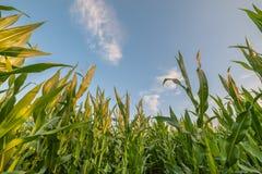 Landschaft mit Mais-Feld Stockbild
