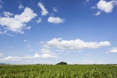 Landschaft mit Maisfeld und blauem Himmel Lizenzfreies Stockfoto