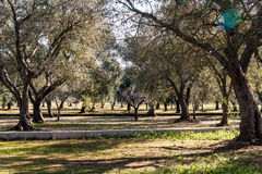 Landschaft mit Olivenbäumen Stockfotografie