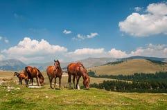 Landschaft mit Pferden im Transalpine Stockfotografie