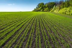 Landschaft mit Reihen auf jungem Weizenfeld stockfoto