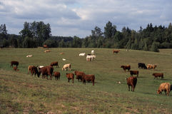 Landschaft mit Rinderherde Lizenzfreies Stockfoto