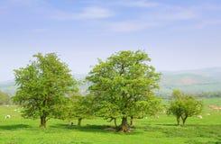 Landschaft mit Schafen lizenzfreie stockfotos