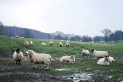 Landschaft mit Schafen Lizenzfreies Stockfoto