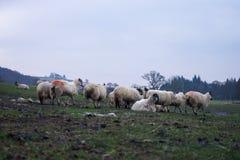 Landschaft mit Schafen Lizenzfreie Stockfotografie
