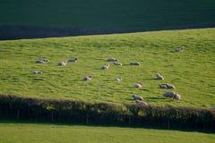 Landschaft mit Schafen lassen auf einem Ackerland weiden Stockfotos