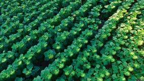 Landschaft mit Sonnenblumen stock video