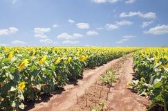 Landschaft mit Sonnenblumen Lizenzfreie Stockbilder