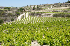 Landschaft mit Weinbergreihen Lizenzfreies Stockfoto
