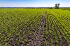 Landschaft mit Weizenfeld mit Baum im Frühjahr Lizenzfreies Stockfoto