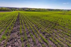 Landschaft mit Weizenfeld mit Baum im Frühjahr Stockfotografie