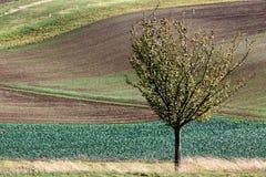 Landschaft mit Wellenhügeln, grünen Feldern und Baum, Süd-Moravi stockfoto