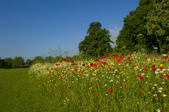 Landschaft mit Wiese der wilden Blume Lizenzfreies Stockfoto
