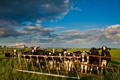 Landschaft mit Wiese und Kühen Lizenzfreie Stockbilder