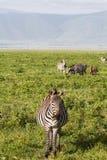 Landschaft-Ngorongoro-Krater: Herde von Zebras auf grünem Rasen Tanzania, Afrika stockbild