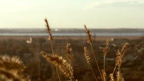 Landschaft und Ährchen stock footage