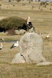 Landschaft und weißer Storch auf einem Stein Lizenzfreies Stockbild