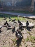 landschaft Vögel, Tauben erfassten in einer Menge nahe der Abwasserkanalluke Sie gehen entlang den Boden mit grünem Gras und pick Stockfotos