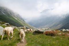 Landschaft von Adamello-Tal mit den weiden lassenden Ziegen Stockfotos