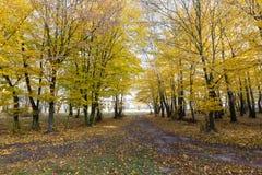 Landschaft von goldenen gelben Bäumen lizenzfreies stockbild