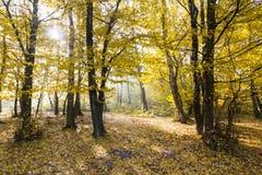 Landschaft von goldenen gelben Bäumen stockbilder
