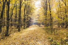 Landschaft von goldenen gelben Bäumen und von gefallenen Blättern stockfotos
