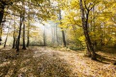 Landschaft von goldenen gelben Bäumen und von gefallenen Blättern stockbild