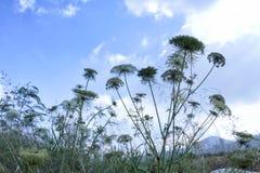 Landschaft von Landwirtschaftsfeldern mit Karottenblumen lizenzfreies stockfoto
