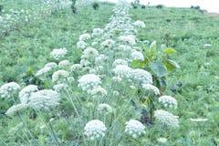 Landschaft von Landwirtschaftsfeldern mit Karottenblumen stockfotos
