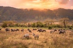 Landschaft von Ngorongoro-Krater - Herde des Zebras und der Gnus (alias Gnus) weiden lassend auf Wiese - wilde Tiere an lizenzfreie stockfotos