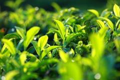 Landschaft von Plantagen des grünen Tees. Munnar, Kerala, Indien Lizenzfreie Stockfotos