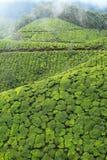 Landschaft von Plantagen des grünen Tees. Munnar, Kerala, Indien Stockfotos
