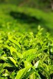 Landschaft von Plantagen des grünen Tees. Munnar, Kerala, Indien Lizenzfreies Stockbild