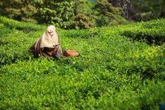Landschaft von Plantagen des grünen Tees. Munnar, Kerala, Indien Stockbilder