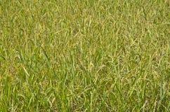 Landschaft von Reisfeldern Stockbilder