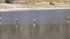Landschaft von See, von Flamingos und von Bergen in Atacama-Wüste Chile stock video