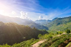 Landschaft von Teeplantage 2000 bei Doi Ang Khang Stockbild